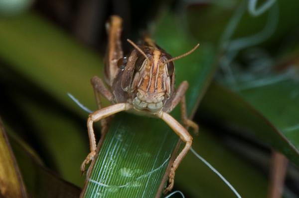 Grasshopper-3.jpg